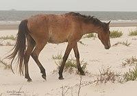 Wild stallion on Cumberland Island National Seashore by Bonnie Gruenberg.jpg
