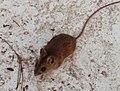 Wilde Maus in Wanne 1.jpg