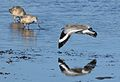 Willet, Tringa semipalmata, Moss Landing and Monterey area, California, USA. (30285169994).jpg
