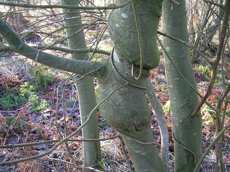 Willow species with Honeysuckle woodbine