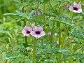 Winged-seed Sesame (Sesamum alatum) (13781296554).jpg