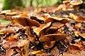 Wobbly Mushroom (231069703).jpeg