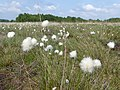 Wollgrasblüte in der Bockholter Dose, Naturschutzgebiet WE 138.jpg