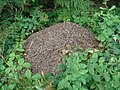 Wood ant nest in Queen's Wood - geograph.org.uk - 528613.jpg