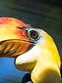 Wrinkled Hornbill (19627340412).jpg
