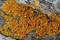 Xanthoria aureola 57362990.jpg