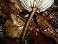 Xerula melanotricha Dörfelt 212376 2011-07-15.jpg
