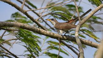 Yellow-billed cuckoo - Image: Yellow billed Cuckoo Coccyzus americanus 02