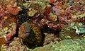 Yellow-edged Moray (Gymnothorax flavimarginatus) (8495760668).jpg