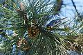Yellow-throated Warbler (26308218411).jpg