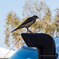 Yellow-throated miner Herbert St Boulia Queensland P1030330.jpg