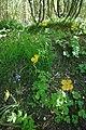 Yellow Poppies - geograph.org.uk - 1871687.jpg