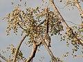 Yellow Throated Sparrow Gymnoris xanthocollis by Dr. Raju Kasambe DSCN9902.jpg