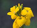 Yellow flowers (14330257051).jpg