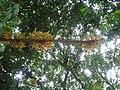 Yellow seraca ashoka plant.jpg