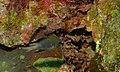 Yellowbelly Damselfish (Amblyglyphidodon leucogaster) (8492912046).jpg