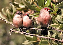 Young Common Waxbills.jpg