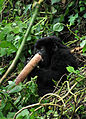 Young mountain gorilla (8209003379).jpg