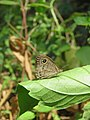 Ypthima baldus - Common Five-ring at Kakkayam (2).jpg