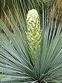Yucca linearifolia - Jardin d'oiseaux tropicaux - DSC04873.JPG