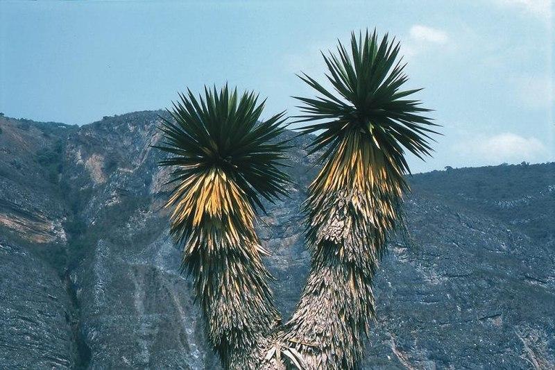 File:Yucca potosina fh 0385 MEX B.jpg