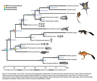 Cameroon scaly-tail - Timescale and phylogenetic relationships of extant and extinct anomaluromorph rodents.