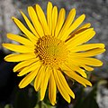 Zillertal - plant 6.jpg