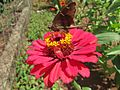 Zinnia and butterfly 3.jpeg