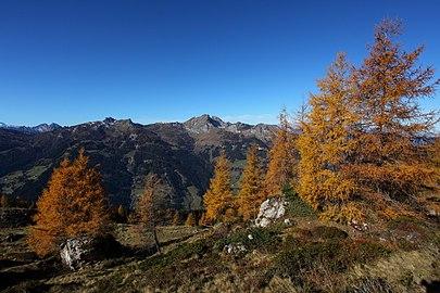 Zirben am Saukar im Herbst.jpg