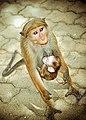 """""""Mother's Love""""- Sri-Lankan toque macaques in Sri Lanka.jpg"""