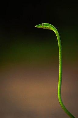 """"""" Green vine snake """""""