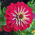 'Dreamland Red' Zinnia IMG 7390.jpg