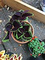 'Giant Exhibition Magma' coleus IMG 1035.jpg