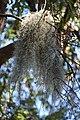 (1)Spanish moss-1.jpg