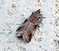 (1438) Trachycera suavella - Flickr - Bennyboymothman (2).jpg