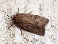 (2299) Mouse Moth (Amphipyra tragopoginis) (14601301377).jpg