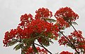 (Delonix regia) Forest flame flowers at Thotlakonda 01.jpg