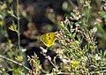 «Балка Норова» метелик лимонниця.jpg
