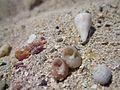 Μαλακόστρακα στην άμμο.jpg