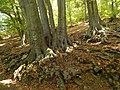 Вековни букови дървета ,.JPG