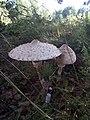 """Великі мухомори по дорозі до """"Поліського природного заповідника"""" 04.jpg"""