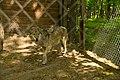 """Волк в Национальном парке """"Самарская лука"""".jpg"""