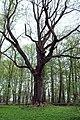 Гощанський парк, старовинний ясен.jpg