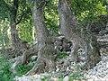 Деревья на берегу Волги.jpg