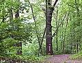 Дуб Петра Могили (Голосієво) здалеку.jpg