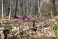 Еритроній у пік цвітіння.jpg