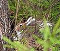 Заяц в весеннем лесу.jpg