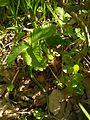 Зеленая ящерица..jpg