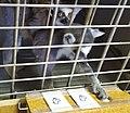 Исследование способностей к выявлению информативных признаков изображений у кошачьего лемура 1.jpg