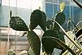 Кактусы форме Микки Мауса в оранжереи Ботанического сада ЮФУ г. Ростов-на-Дону.jpg